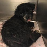 Adopt A Pet :: Tritan - Westminster, CA