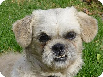 Shih Tzu Dog for adoption in Los Angeles, California - Stanley