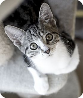 Domestic Shorthair Kitten for adoption in Chicago, Illinois - Chicky