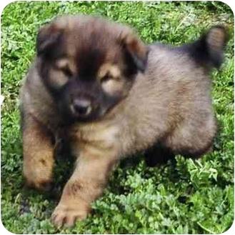 Australian Shepherd/Australian Cattle Dog Mix Puppy for adoption in El Segundo, California - Travis