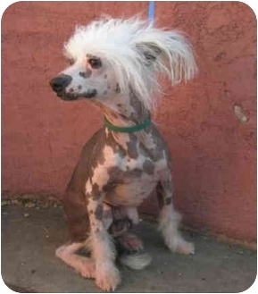 Chinese Crested Dog for adoption in Edgewater, Colorado - Einstein