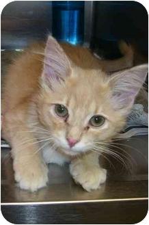 Domestic Mediumhair Kitten for adoption in Osceola, Arkansas - Mercer