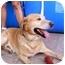 Photo 3 - Labrador Retriever Dog for adoption in Albuquerque, New Mexico - Bodo