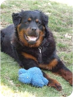 Rottweiler Dog for adoption in Rexford, New York - Zeus