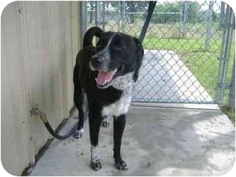 Border Collie/Labrador Retriever Mix Dog for adoption in Sachse, Texas - Max