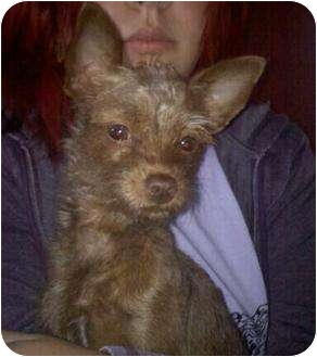 Yorkie, Yorkshire Terrier/Chihuahua Mix Dog for adoption in Mount Kisco, New York - Ruby