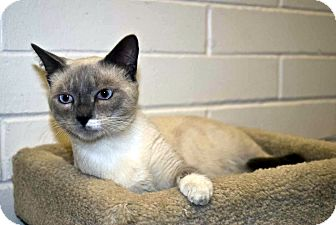 Siamese Cat for adoption in New Port Richey, Florida - Velcro