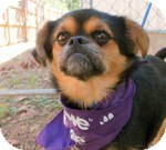 Beagle/Pug Mix Dog for adoption in East Hartford, Connecticut - Groucho