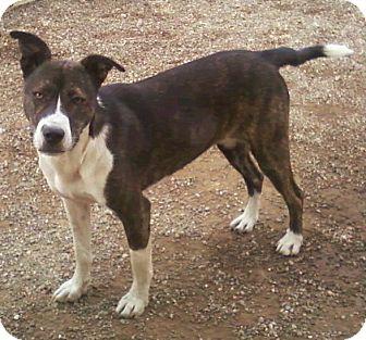 Boxer/Husky Mix Dog for adoption in Toledo, Ohio - Paige