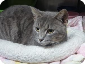 Domestic Shorthair Cat for adoption in St. Petersburg, Florida - Ghost