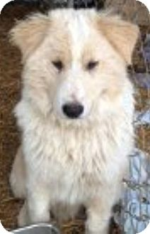Border Collie/Great Pyrenees Mix Puppy for adoption in Oswego, Illinois - Oliver