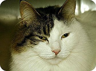 Maine Coon Cat for adoption in Newtown, Connecticut - Ryder