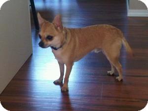 Chihuahua Mix Dog for adoption in Saskatoon, Saskatchewan - Little Harley