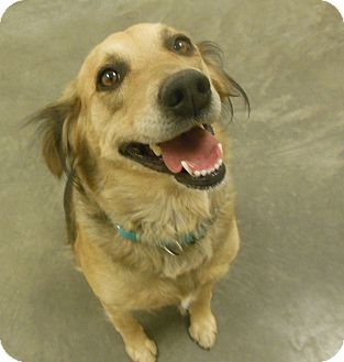 Australian Shepherd/Golden Retriever Mix Dog for adoption in Phoenix, Arizona - Suzie