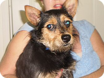Yorkie, Yorkshire Terrier/Chihuahua Mix Dog for adoption in Sylva, North Carolina - Hank