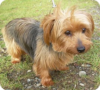 Silky Terrier/Yorkie, Yorkshire Terrier Mix Dog for adoption in Bellingham, Washington - Cindy