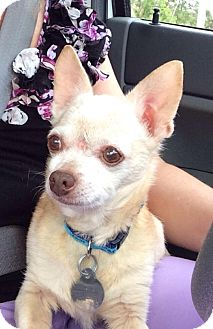 Chihuahua Mix Dog for adoption in Huntsville, Alabama - Taco