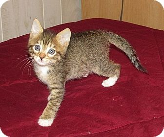 American Shorthair Kitten for adoption in Tampa, Florida - Cinnamon