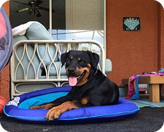 Rottweiler Dog for adoption in New Smyrna Beach, Florida - Bonnie