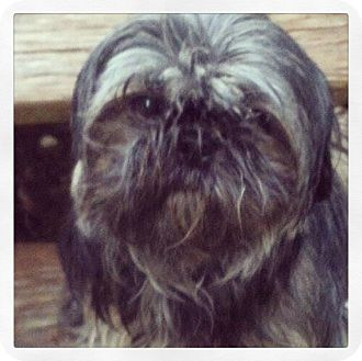 Lhasa Apso Mix Dog for adoption in Grand Bay, Alabama - Portia