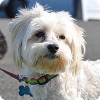 Adopt A Pet :: Marvin - Tumwater, WA