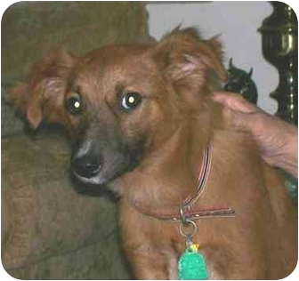 Sheltie, Shetland Sheepdog/Sheltie, Shetland Sheepdog Mix Dog for adoption in Cincinnati, Ohio - Red Fred