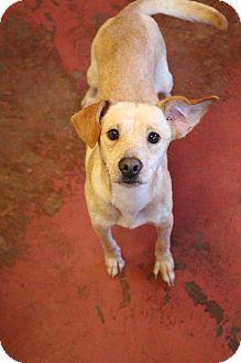 Labrador Retriever Mix Puppy for adoption in New Orleans, Louisiana - Shae