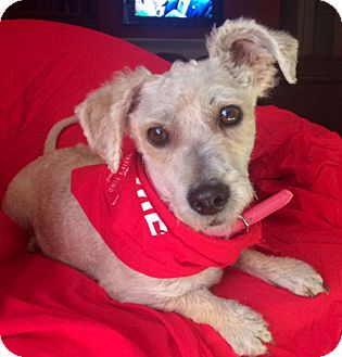 Poodle (Miniature) Mix Dog for adoption in Irvine, California - LENA