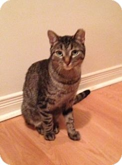 Domestic Shorthair Cat for adoption in Toronto, Ontario - Danny