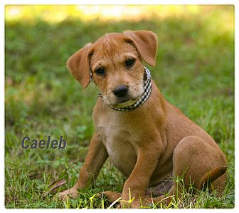 Jack Russell Terrier/Shepherd (Unknown Type) Mix Puppy for adoption in Parsippany, New Jersey - Caeleb