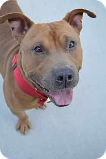 American Pit Bull Terrier/American Staffordshire Terrier Mix Dog for adoption in Prince George, Virginia - Mario