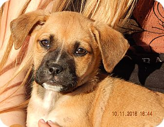 German Shepherd Dog/English Bulldog Mix Puppy for adoption in Williamsport, Maryland - Whiskey (6 lb) Video!