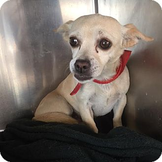 Chihuahua Mix Dog for adoption in Westminster, California - Happy
