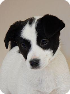 Dachshund Mix Puppy for adoption in Long Beach, New York - Marsha