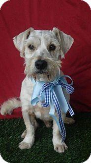 Schnauzer (Standard) Dog for adoption in pasadena, California - BOBBY