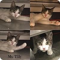 Adopt A Pet :: Tilly - Spring Brook, NY
