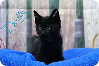 Domestic Shorthair Kitten for adoption in Lebanon, Missouri - Dusty