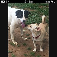 Border Collie/Cattle Dog Mix Dog for adoption in Bristol, Tennessee - Andy