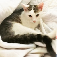 Domestic Shorthair Cat for adoption in St. Louis, Missouri - Hans