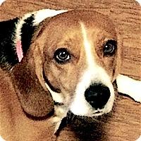 Adopt A Pet :: Hoshi - Houston, TX