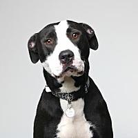 American Pit Bull Terrier Mix Dog for adoption in Eden Prairie, Minnesota - Tatum D171022