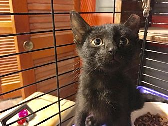 Domestic Shorthair Kitten for adoption in St. Louis, Missouri - Carlyle