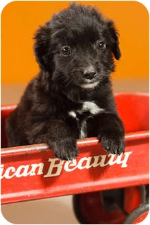 Jack Russell Terrier/Spaniel (Unknown Type) Mix Puppy for adoption in Portland, Oregon - Billy