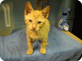Domestic Shorthair Kitten for adoption in Trenton, New Jersey - Sebastian (in foster)