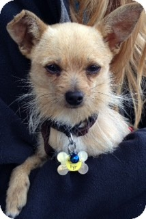 Chihuahua/Terrier (Unknown Type, Small) Mix Dog for adoption in San Diego, California - Simba