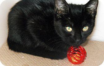 Bombay Kitten for adoption in Trenton, New Jersey - Venus