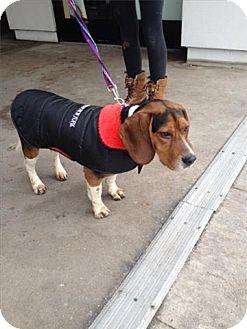 Beagle Mix Dog for adoption in Freeport, New York - Milo