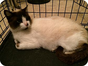 Snowshoe Cat for adoption in East Hartford, Connecticut - Chase in CT