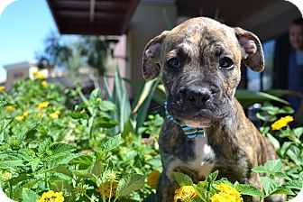 Boxer Mix Puppy for adoption in Chandler, Arizona - Bandit