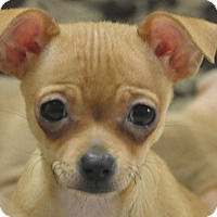 Adopt A Pet :: Gracie - Tumwater, WA